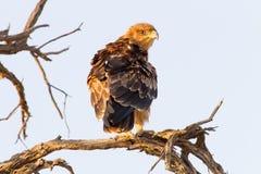 Tawny Eagle nieletni umieszcza na gałąź w Kgalagadi Transfrontier rezerwie między Namibia, Południowa Afryka i Botswana, n Obrazy Royalty Free