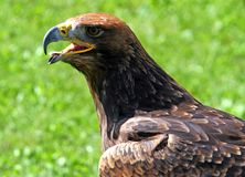 Tawny Eagle with open beak Royalty Free Stock Image