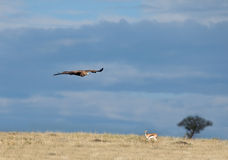 Tawny Eagle over Masai Mara Stock Images