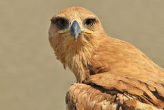 Tawny Eagle P - Dziki Ptasi tło od Afryka - Fotografia Stock