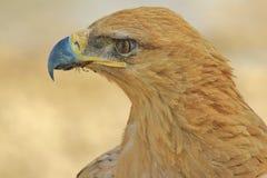 Tawny Eagle P - Dziki Ptasi tło od Afryka - Zdjęcia Stock