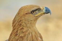 Tawny Eagle Patrzeje dla aniołów - Dziki Ptasi tło od Afryka - Zdjęcie Stock