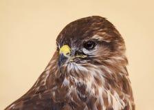 Tawny Eagle Peering Stock Images