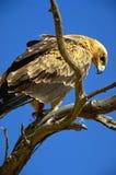 Tawny eagle Stock Image