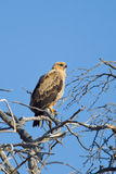 Tawny Eagle perched in dead tree Royalty Free Stock Images