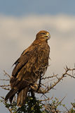 Tawny eagle perched on top of tree Royalty Free Stock Photo