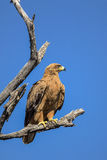 Tawny Eagle Perched on a Tree Branch stock photo