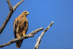 Tawny Eagle Perched on a Tree Branch Royalty Free Stock Photo
