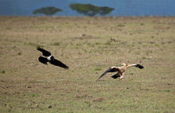 Tawny Eagle and Pied Crow Stock Images
