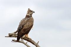 Tawny Eagle (rapax de Aquila) Fotografia de Stock Royalty Free
