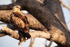 Tawny Eagle (rapax di L'Aquila) Immagini Stock Libere da Diritti