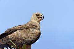 Tawny Eagle (rapax di L'Aquila) Fotografie Stock Libere da Diritti