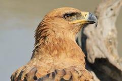 Tawny Eagle Super ziemia i natura - Dziki Ptasi tło od Afryka - Obrazy Stock