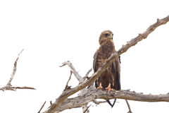 Tawny Eagle In A Tree, Kenya Stock Photo