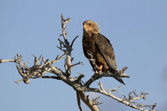 Tawny eagle. On a tree in the Moremi game reserve Royalty Free Stock Photos