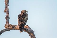 Tawny Eagle w Kruger parku narodowym, Południowa Afryka Fotografia Stock