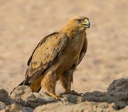Tawny Eagle. A Tawny Eagle at a waterhole in the  Kgalagadi Transfrontier Park which straddles South Africa and Botswana Royalty Free Stock Photography