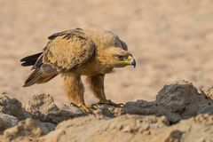 Tawny Eagle. A Tawny Eagle at a waterhole in the  Kgalagadi Transfrontier Park which straddles South Africa and Botswana Stock Images