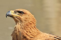 Tawny Eagle - Wild Bird Background from Africa - Animal Kingdom Angels Royalty Free Stock Images