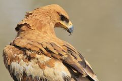 Tawny Eagle - Wild Bird Background from Africa - Focus of Feathers Royalty Free Stock Images