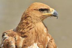 Tawny Eagle - Wild Bird Background from Africa - Iconic beauty of Gold and yellow Royalty Free Stock Image