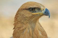 Tawny Eagle - Wild Bird Background from Africa - Iconic beauty of Power Stock Images