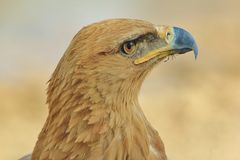 Tawny Eagle - Wild Bird Background from Africa - Looking for Angels Stock Photo