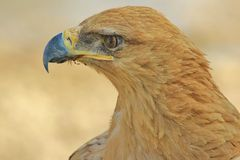 Tawny Eagle - Wild Bird Background from Africa  Stock Photos
