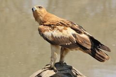 Tawny Eagle - Wild Bird Background from Africa - Staring at the world from a log Stock Images