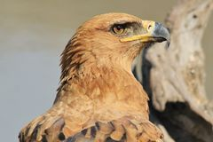Tawny Eagle - Wild Bird Background from Africa - Super Earth and Nature Stock Images