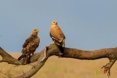 Tawny Eagles Fotografía de archivo libre de regalías