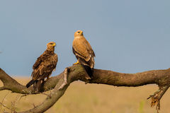 Tawny Eagles. Eye the landscape of the Serengeti for an evening meal Royalty Free Stock Photography