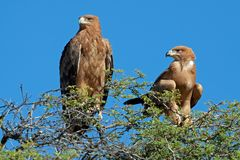 Tawny eagles Stock Photography