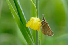 Tawny Edged Skipper on buttecup Royalty Free Stock Photos