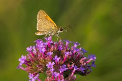 Tawny-edged Skipper Butterfly. Collecting nectar fom a flower. Edwards Gardens, Toronto, Ontario, Canada Stock Images