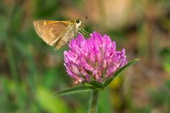 Tawny-edged Skipper Butterfly - Polites themistocles Royalty Free Stock Photos