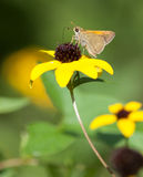 Tawny Edged Skipper Royalty Free Stock Image
