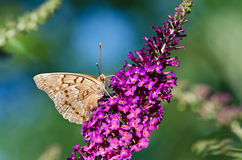 Tawny Emperor butterfly (Asterocampa clyton) Royalty Free Stock Photography