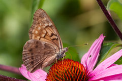 Tawny Emperor Butterfly Stock Photo