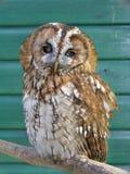 Tawny Eule Lizenzfreies Stockfoto