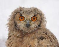 Tawny eurasian eagle owl. Tawny owl closeup photo in the snow Stock Images