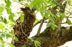Tawny Fish Owl che riposa su un albero Fotografia Stock Libera da Diritti