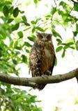 Tawny Fish Owl med all öppen ögonlock tre Arkivfoton