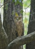 Tawny Fish owl sitting on a tree branch Royalty Free Stock Photo