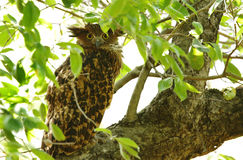 Tawny Fish Owl Royalty Free Stock Photo