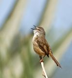 Tawny-flanked Prinia singing Royalty Free Stock Image