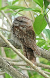 Tawny frog mouth Stock Photography