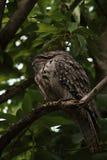 Sleeping Tawny Frog Mouth in Avocado Tree royalty free stock photography