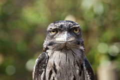 tawny froghead Стоковое Изображение RF