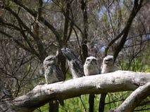 Tawny Frogmouth семьи Стоковая Фотография